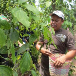 Pak Bari sedang memetik buah lada di kebun miliknya.