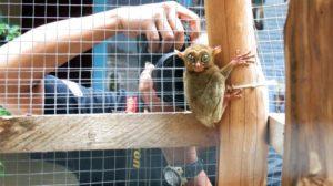 Pelele'an atau biasa dikenal dengan Tarsius adalah salah satu binatang langka yang menjadi primadona wisata di Beltim