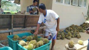 Durian Tanjung Binga yang Legit dan Manis